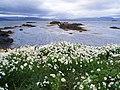 Tripleurospermum maritimum inodorum - Iceland 20070713.jpg