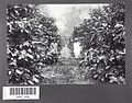 Tropenmuseum Royal Tropical Institute Objectnumber 60001046 Liberia-koffieaanplant op plantage So.jpg