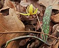 Trout lily 2012.jpg