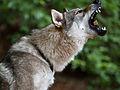 Tschechoslowakischer Wolfhund3.jpg