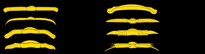 Ttrilobites thorax-segments (tergites)
