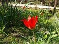 Tulipa agenensis002.JPG