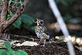 Turdus migratorius -Smithsonian National Zoological Park, Washington, USA -juvenile-8.jpg