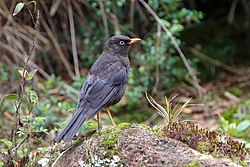Turdus nigrescens CR.JPG