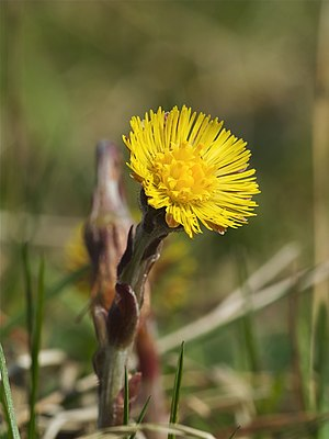 Coltsfoot (Tussilago farfara), Chemnitz, Germany
