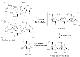 Cellulase - The three types of reaction catalyzed by cellulases:1. Breakage of the noncovalent interactions present in the amorphous structure of cellulose (endocellulase) 2. Hydrolysis of chain ends to break the polymer into smaller sugars (exocellulase) 3. Hydrolysis of disaccharides and tetrasaccharides into glucose (beta-glucosidase).