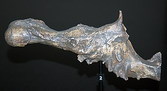 Endocast - Natural (fossil) endocast of a Tyrannosaurus cranial vault, showing extensive olfactory bulb (left)