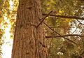 UC Berkeley Eucalyptus Grove (15877217786).jpg