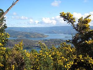 Ulex - Ulex landscape around Corral Bay in Southern Chile