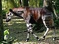 Un okapi à la réserve de faunes à okapis, à Epulu, 2005 (4389219071).jpg