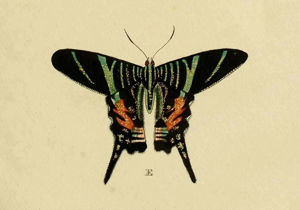 image of Urania sloanus