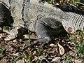 Uxmal - Leguan 3.jpg