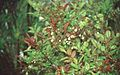 Vaccinium padifolium in October 1999..jpg