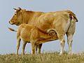 Vache de race aubrac et son veau, cropped.jpeg