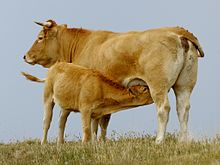 a wheaten-coloured cow suckling a calf