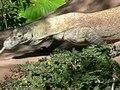 File:Varanus komodoensis3.ogv