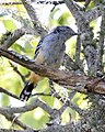 Variable Antshrike (Thamnophilus caerulescens) - Flickr - Lip Kee.jpg