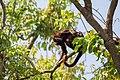 Venezuelan red howler Araguato (Alouatta seniculus) (24271004463).jpg