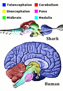 769c9108d6023 Corresponding regions of human and shark brain are shown. The shark brain  is splayed out