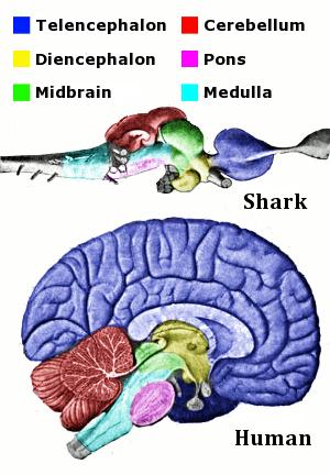 Vertebrate-brain-regions small