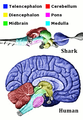 Vertebrate-brain-regions small.png