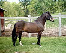 Vesuvio Bien Vee - Paso Fino Bellas Formas National Champion 3 Year Old Gelding in 2001; photo taken in May of 2006.JPG