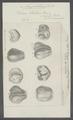 Vibrio tritici - - Print - Iconographia Zoologica - Special Collections University of Amsterdam - UBAINV0274 104 02 0011.tif