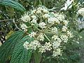 Viburnum rhytidophyllum in bloom, Odessa.jpg