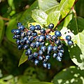 Viburnum tinus-Viorne tin-Fruits-20190315.jpg