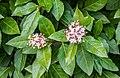 Viburnum tinus in Gard 02.jpg