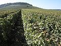 Vigne Pinot Noir (Cerseuil) Cl.J.Weber08 (23382069350).jpg