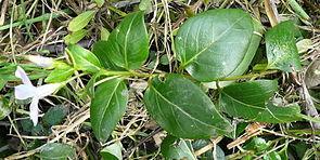 Vinca difformis planta.jpg