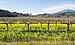 Vineyard in Napa Valley (01934).jpg