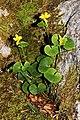 Viola biflora 03.jpg