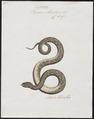 Vipera arietans - 1700-1880 - Print - Iconographia Zoologica - Special Collections University of Amsterdam - UBA01 IZ11700115.tif