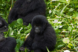 Virunga National Park - Juvenile mountain gorilla