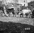 Vprega, osel in dve kravi, Tinjan 1949.jpg