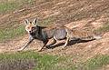 Vulpes vulpes at Eshel HaNasi2, israel.jpg