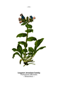 WWB-0029-009-Pulmonaria officinalis.png