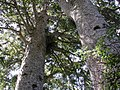 Waiau Kauri trunks.jpg