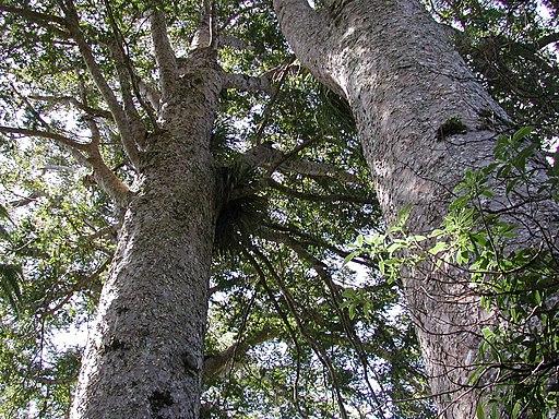Waiau Kauri trunks