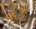 Wall Brown. Lasiommata megera. Female - Flickr - gailhampshire.jpg