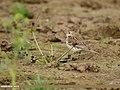 Water Pipit (Anthus spinoletta) (32893802392).jpg