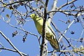 Wedge-tailed Green Pigeon (Treron sphenurus).jpg