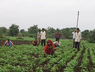 Weed control - Weeds are removed manually in large parts of India.