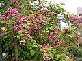 Weigela hortensis1.jpg
