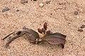 Welwitschia mirablis-1395 - Flickr - Ragnhild & Neil Crawford.jpg