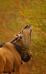 Western Derby Eland (Taurotragus derbianus derbianus)