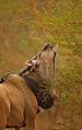 Western Derby Eland (Taurotragus derbianus derbianus) 7.jpg