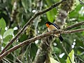 Wetmorethraupis sterrhopteron - Orange-throated Tanager.jpg